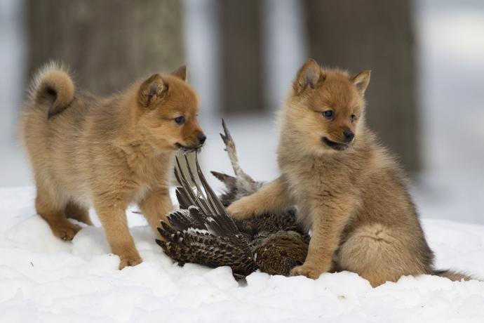 Native Breeds Finnish Spitz.jpg