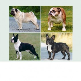 The Brachycephalic Issue