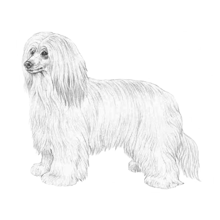 chinese-crested-powder-puff-800x800-fci288.thumb.png.aee76d436769a09e7d0be99f1532a039.png