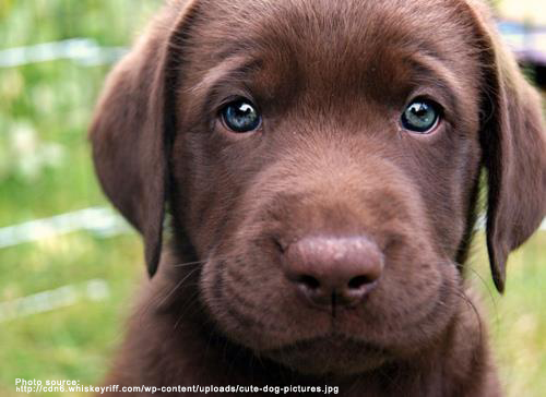 cute-chocolate-lab.png