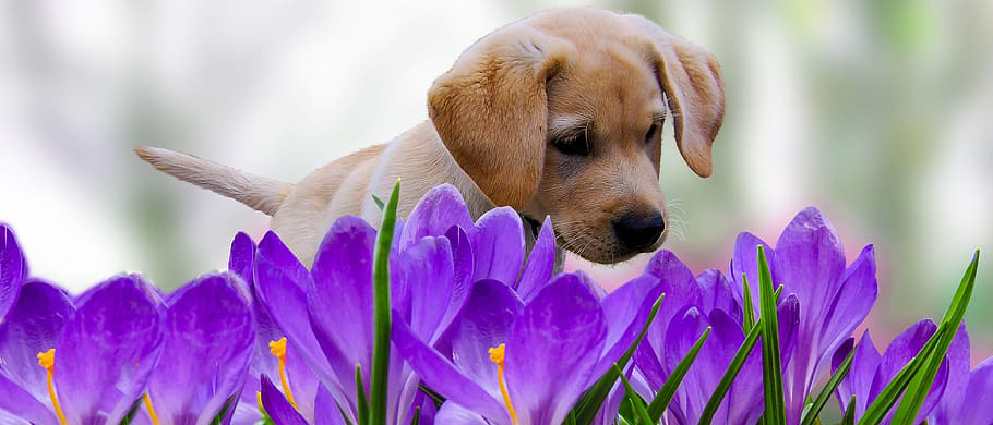 puppy and croci.png
