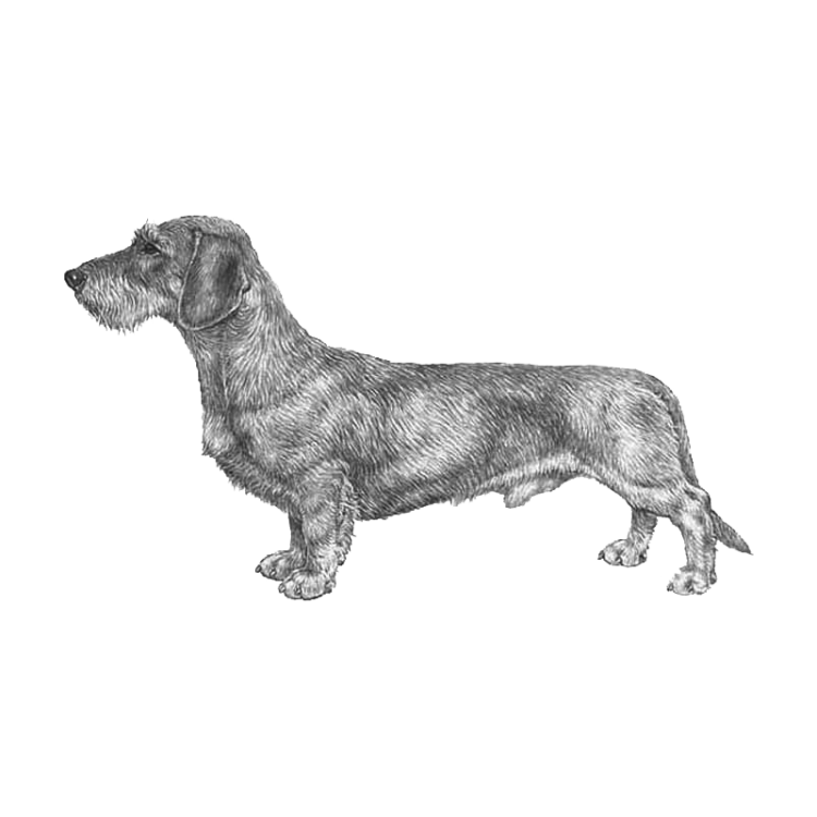 dachshund-wire-haired-800x800-fci148.png