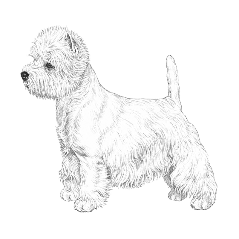 West Highland White Terrier - Pedigreed Breeds - DogWellNet com