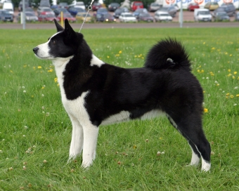 Native Breeds Finland Karelian Bear Dog.jpg
