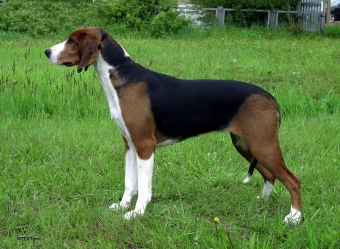 Native Breeds Finland Finnish Hound.jpg