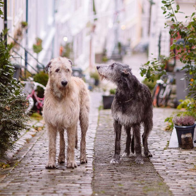 iwdb-irish-wolfhound-database.jpg
