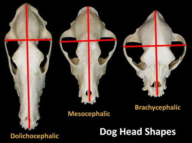 Dog head shapes.jpg