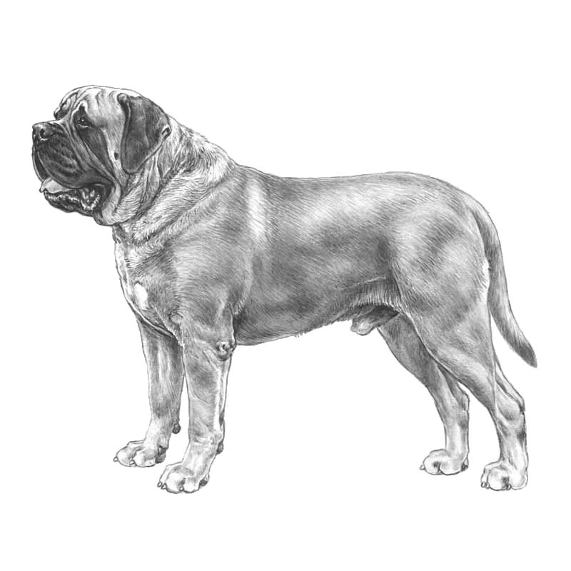 Elkhound White Swedish Insurance Data Dogwellnet Com