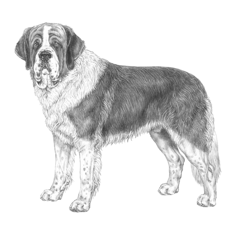 st-bernard-long-coated-800x800-fci61.png