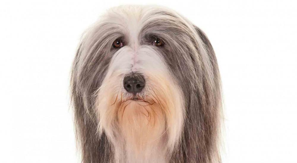 Bearded_Collie3_Larroux_head2_resized.jpg