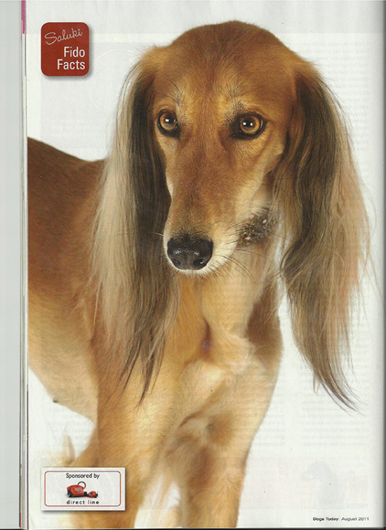 Salukis---Dogs-Todaycover.png