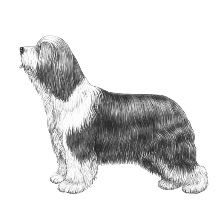 bearded-collie-800x800-fci271.png