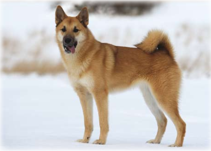 hallesforshund-skk-race.png