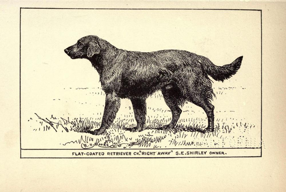 Flat-Coated_Retriever_BDL.jpg