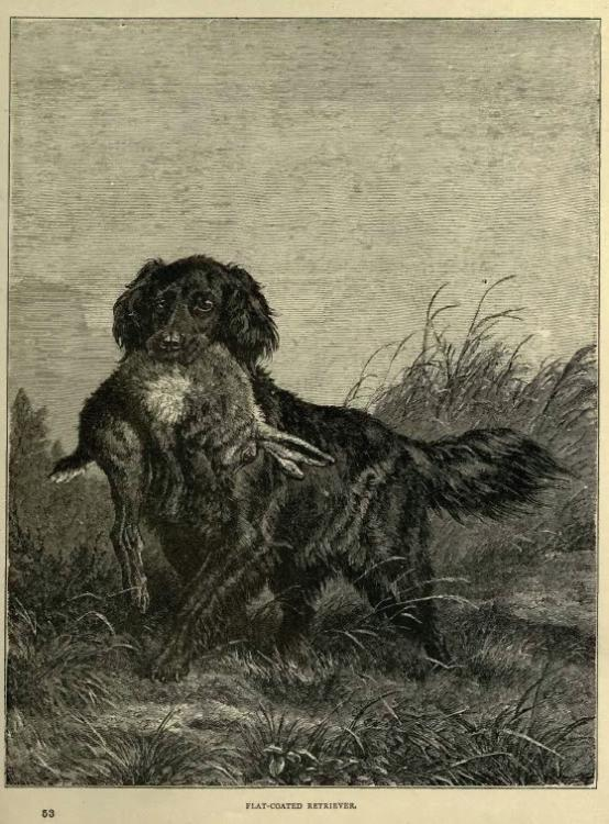 Flat-Coated_Retriever_in_1881.jpg