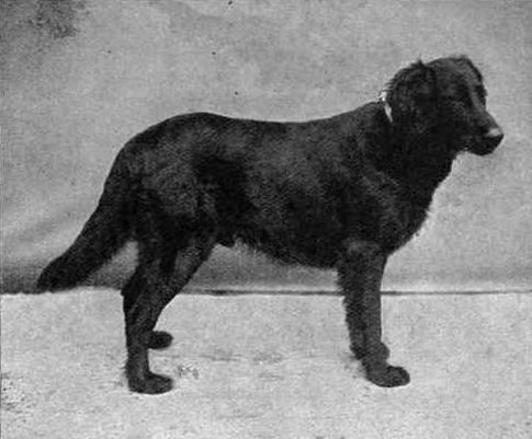 Flat_Coated_Retriever_Black_Drake_1903.jpg