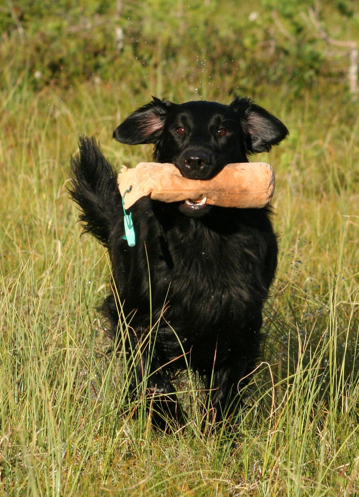 Flat Coated Retriever - Pedigreed Breeds - DogWellNet.com