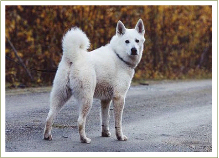 white swedish elkhound.jpg
