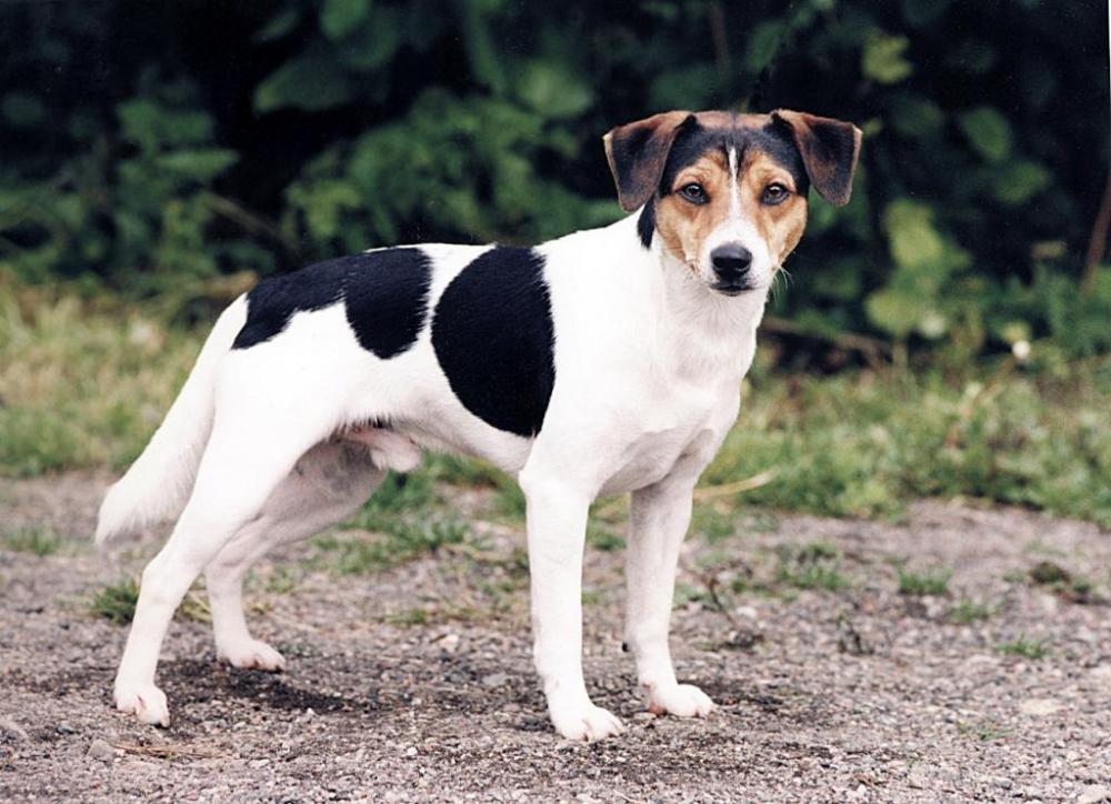 Dansksvenskgardshundcmyk.jpg