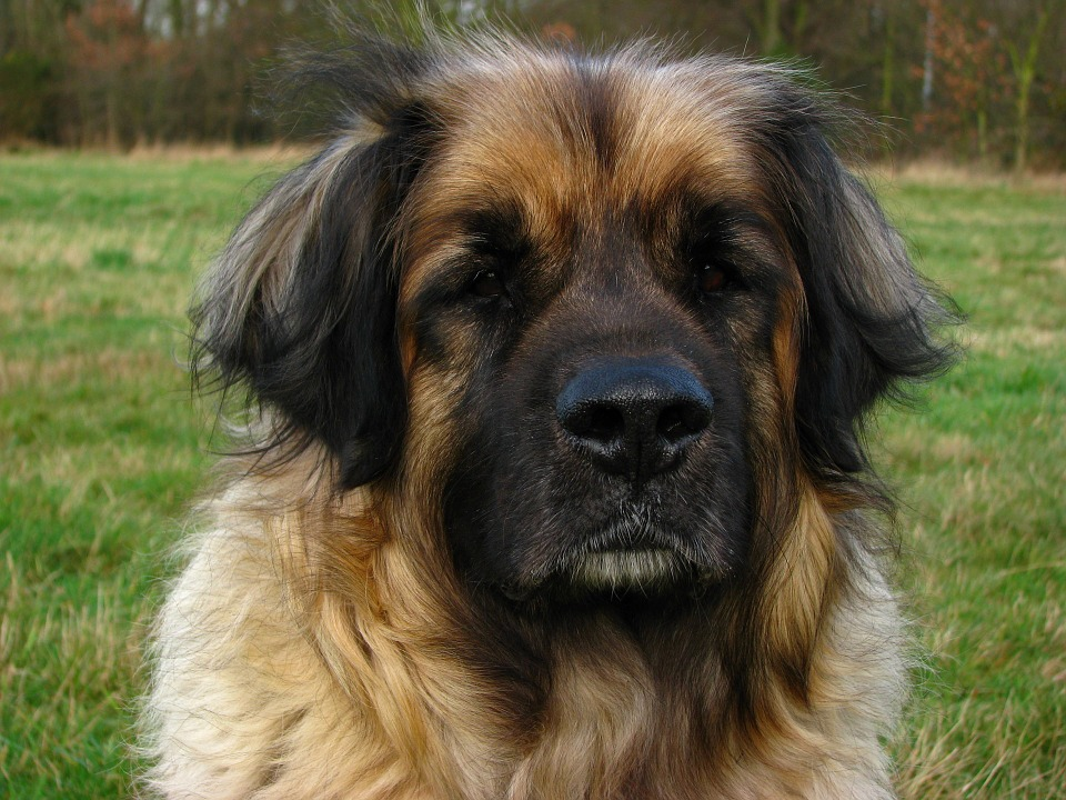 Head-Pet-Canine-Animal-Dog-Big-Leonberger-164207.jpg