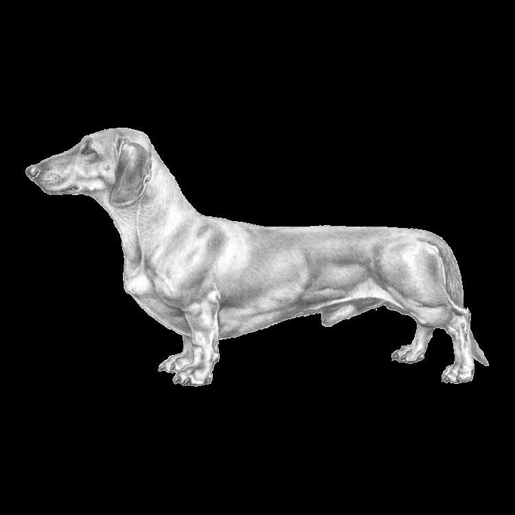 dachshund-800x800-fci148.png