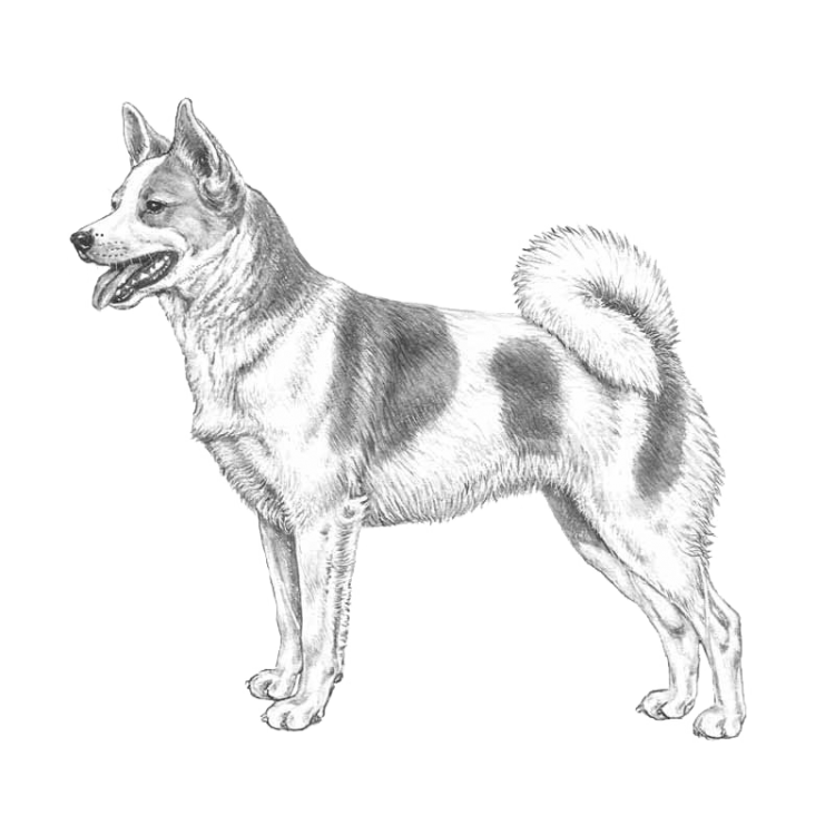 norrbottenspets-800x800-fci265.png
