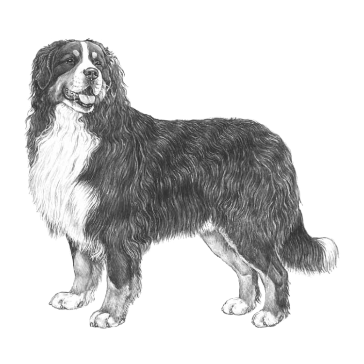 bernese-mountain-dog-800x800-fci45.png