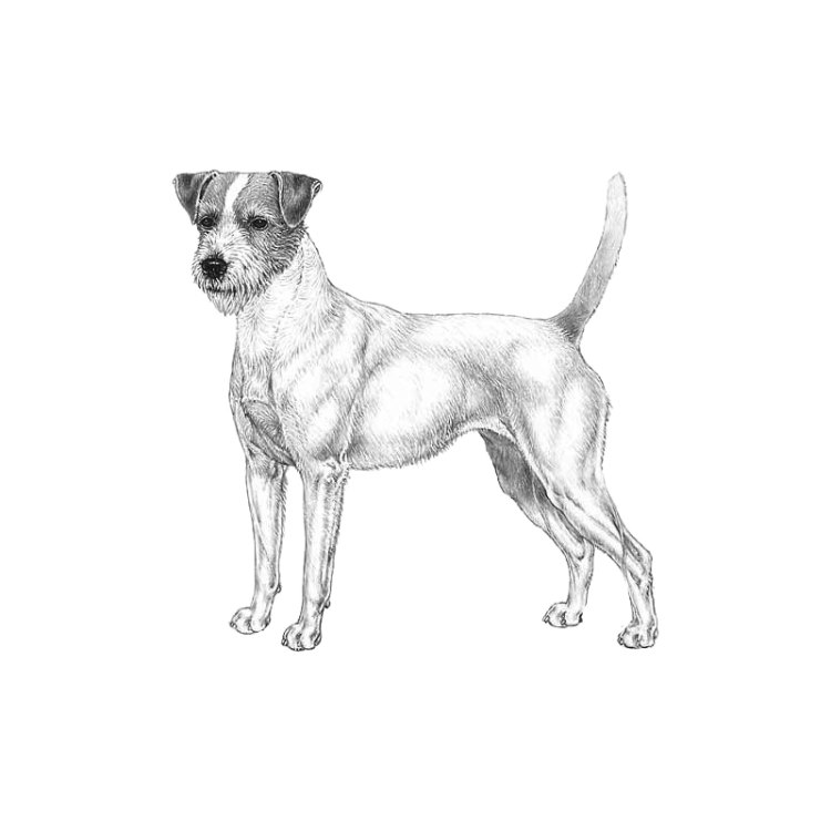 parson-russell-terrier-800x800-fci339.png