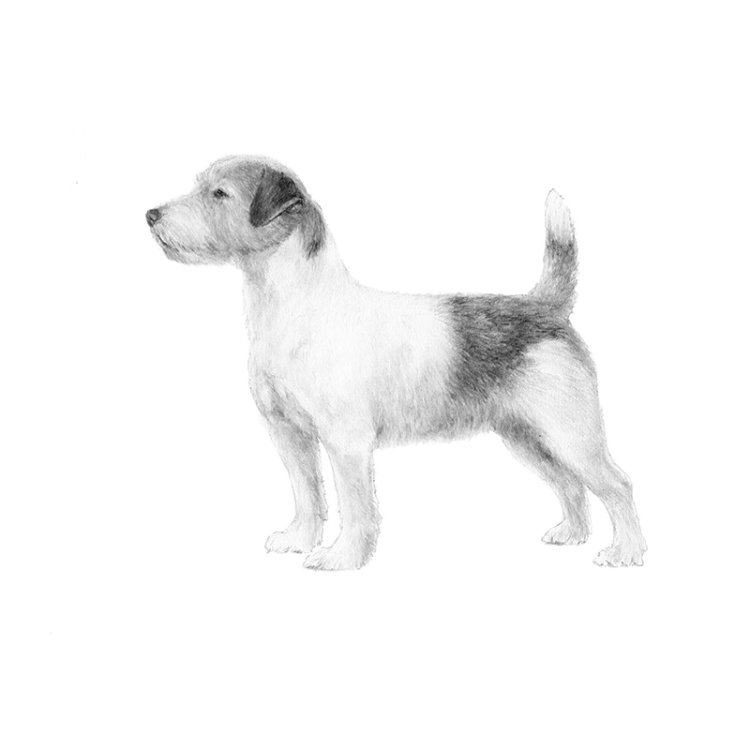 russell-terrier-800x800-akc.png