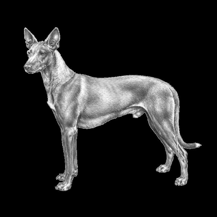 faraohund-800x800-fci248.png