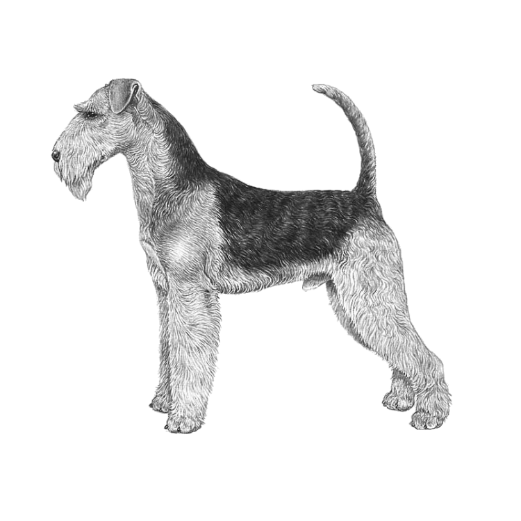 airedale-terrier-800x800-fci7.png