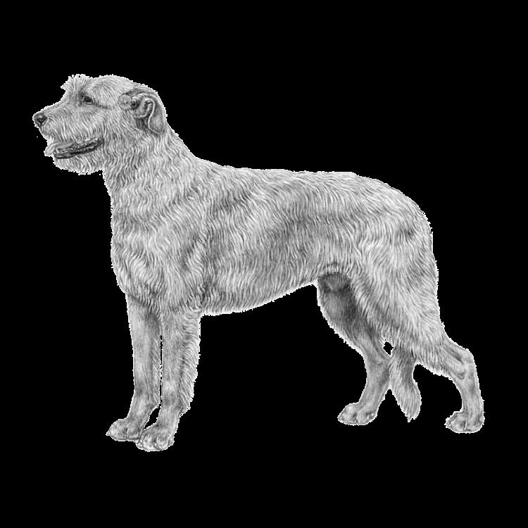 irish-wolfhound-800x800-fci160.png