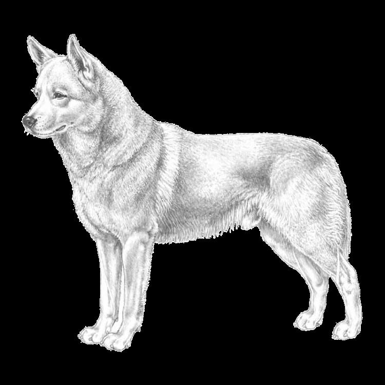 canaan-dog-800x800-fci273.png