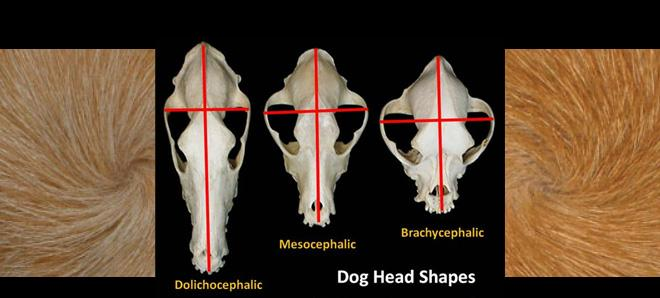 Head Shape and Hair Whorls—Can They Influence Behavior?