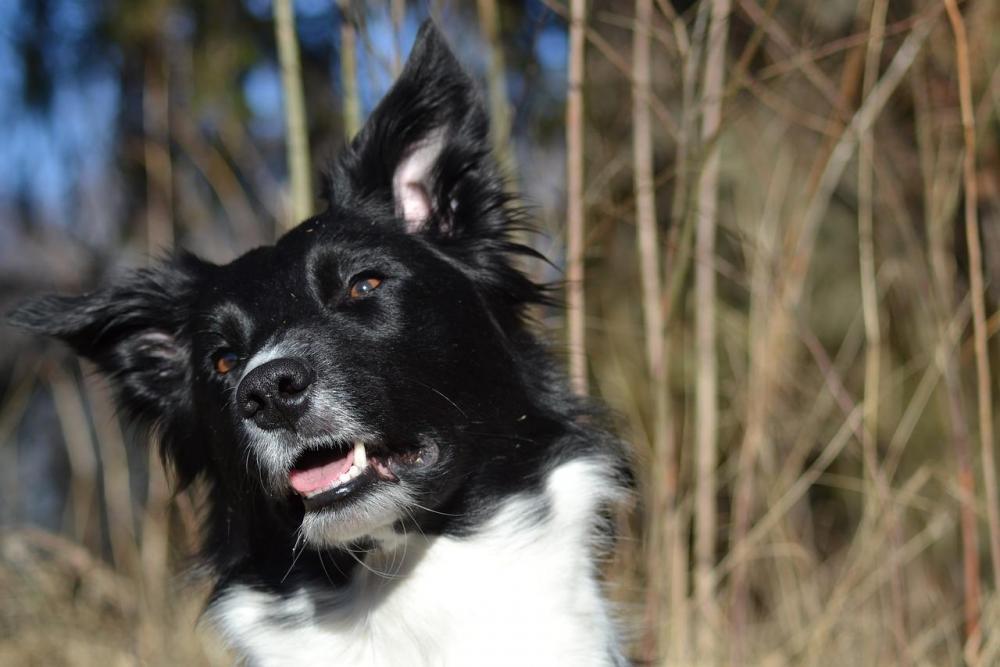 Border-Collie-Beautiful-Dog-1604083.jpg