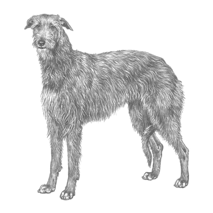 scottish-deerhound-800x800-fci164.png