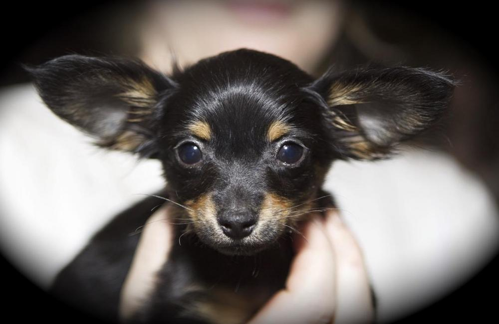 Dog-Petit-Breeding-Big-Ears-Russkiy-Toy-Joeberger-1222500.jpg