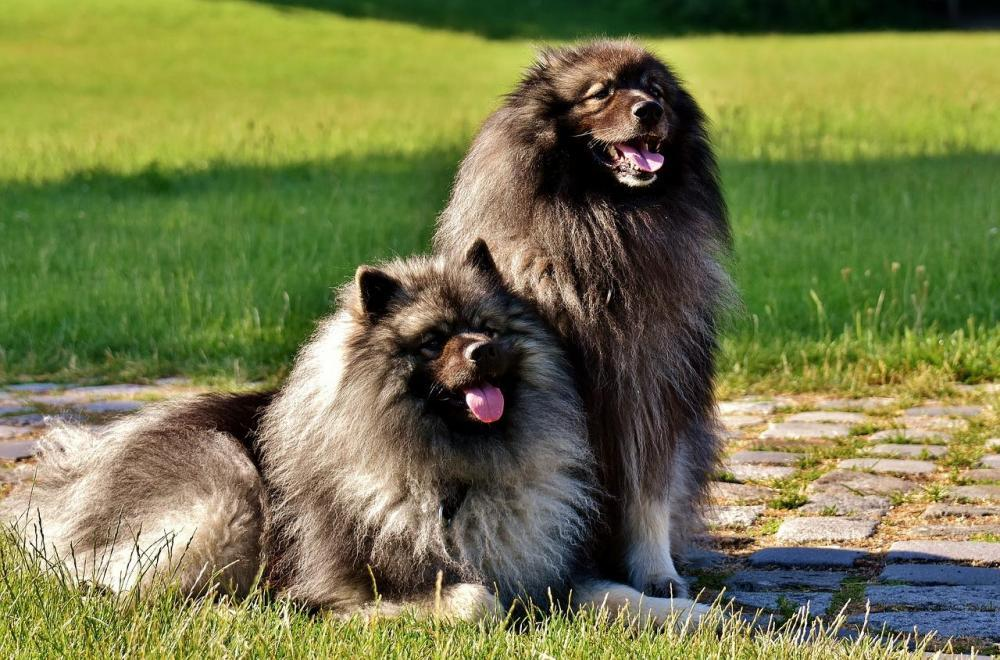 Dog-Breed-Long-Haired-Dogs-Pointed-Keeshond-Pet-2405877.thumb.jpg.c0bbb4a9f038766e01fb4fe631cb987d.jpg
