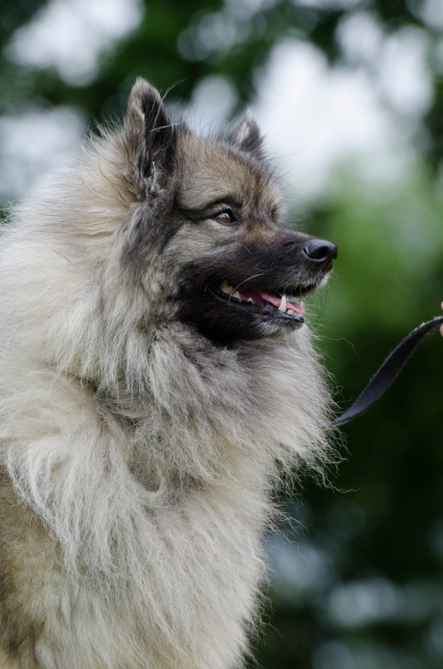 Keeshond-wolf-spitz-portrait.png