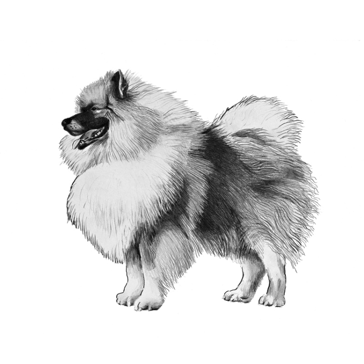 keeshond-800x800-fci97.png