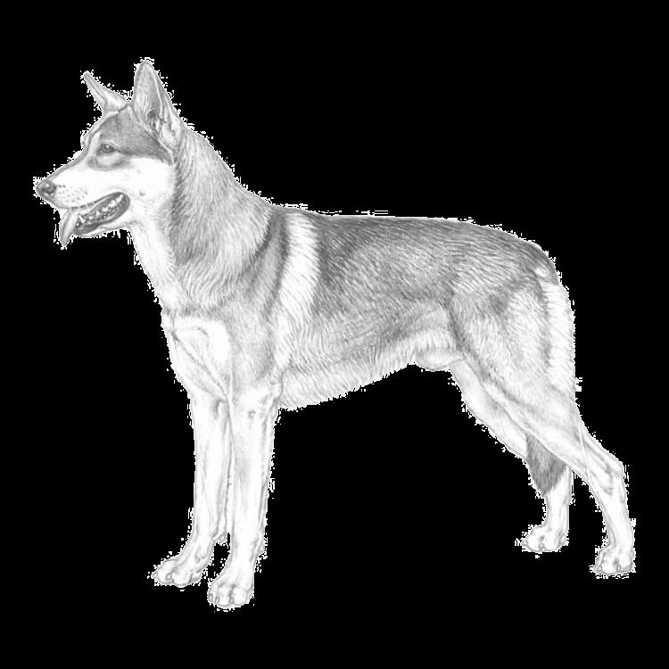 saarlooswolfdog.png