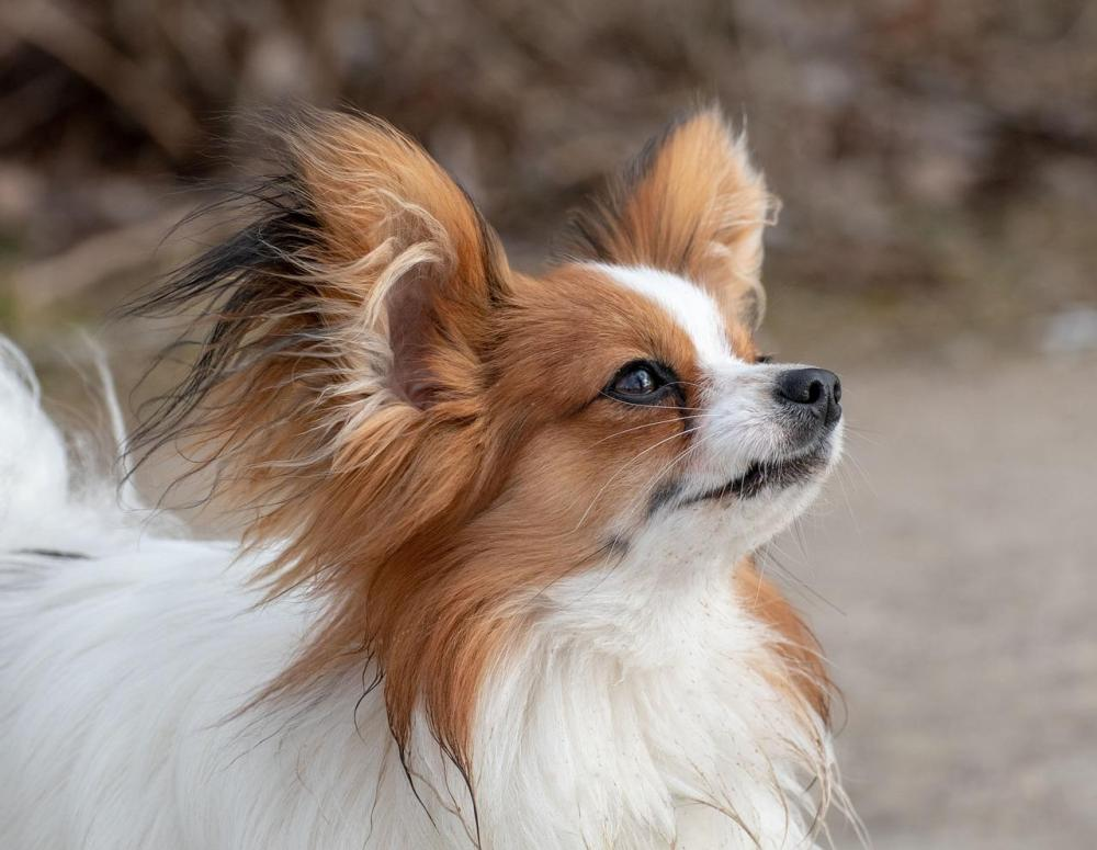 Papillon-Dwarf-Spaniel-Butterfly-Dog-Dog-Pet-4025495.jpg