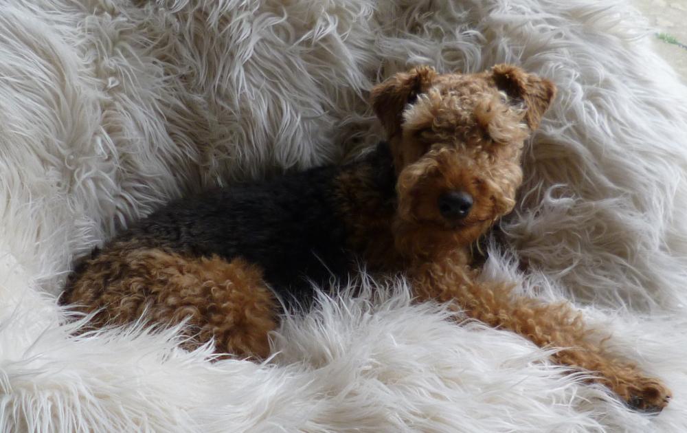 hector-welsh-terrier-410690.png