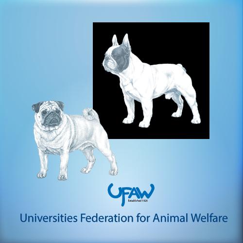 Assessment of welfare in brachycephalic dogs
