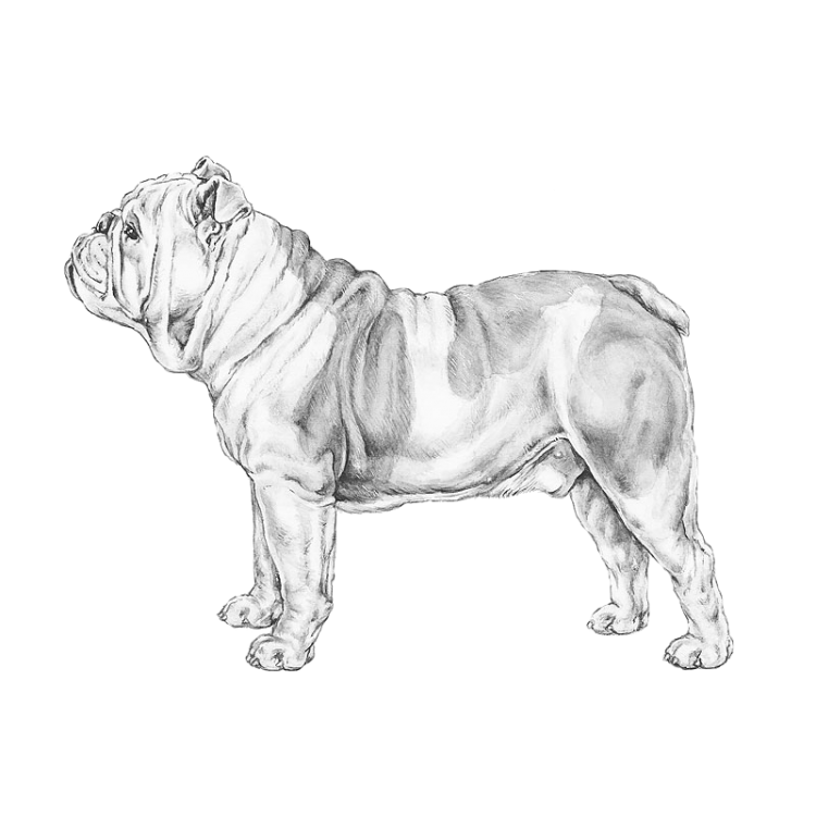 english-bulldog-800x800-fci149.png
