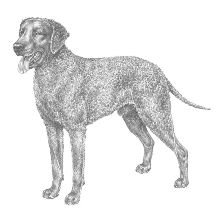 curly-coated-retriever-800x800-fci110.png