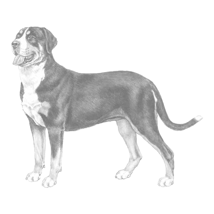 great-swiss-mountain-dog-800x800-fci58.png