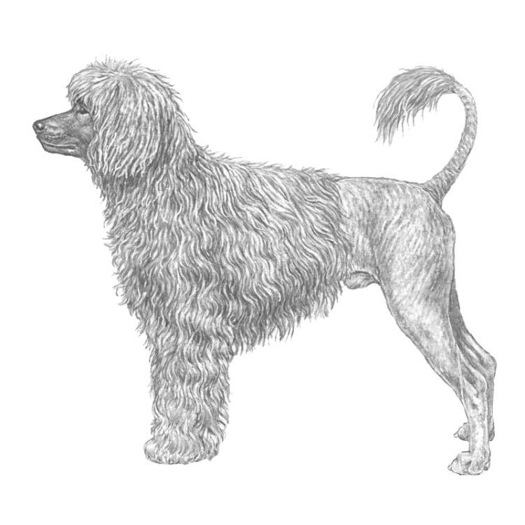 portuguese-water-dog-800x800-fci37.png