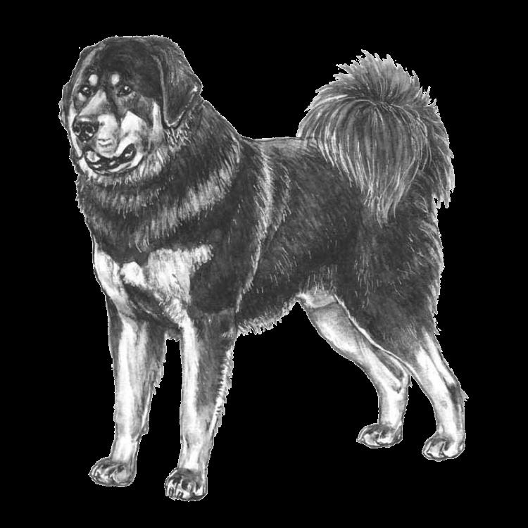 tibetan-mastiff-800x800-fci230.png