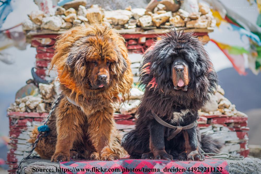tibetan-mastiffs.png